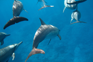 Dolphins entered a trance-like state after chewing on the fish.