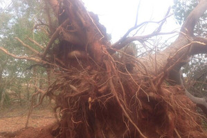 The cyclone's winds of up to 200km/h tore up many trees. Photo / via Twitter