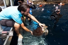Sealife specialist Joe Woolcott sets a rehabilitated Stacey the turtle on her way. Photo / Chris Gorman