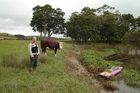 Millan Ruka with one of the beef cattle that have access to the unfenced Mangere River.