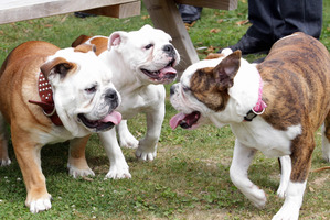 Bulldogs Axle, Caesar, and Lexus, pictured playing together after Caesar was returned to his rightful home by owners of dogs from the same litter. Photo / Paul Taylor