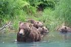Brown bears in Alaska. Photo / Brett Atkinson