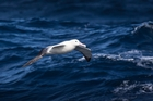 The new subantarctic island marine reserves help protect Southern Ocean birds like the royal albatross, one of 216 species on the islands. Picture / Greg Bowker