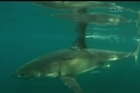 Great white shark tourism operators will be need to have a permit in the same way as for whale, dolphin and seal watching, the Government has announced. The requirement comes after meetings with tourism operators and concerned divers at Stewart Island, Conservation Minister Nick Smith said.