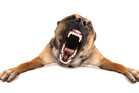 All dogs have the potential to attack, but they can be trained to avoid it.  Photo / Thinkstock