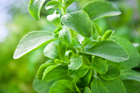 Stevia has no calories, no carbohydrates, and does not raise blood sugar levels. Photo / Thinkstock