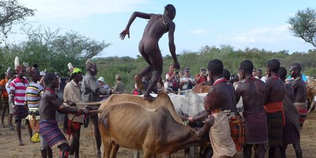 The prospective groom takes his chances running across the backs of bulls to prove his manliness. Photo / Jim Eagles