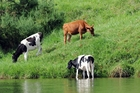 BLAMED: Seventy per cent of people surveyed believed water quality issues rests with dairy farmers. PHOTO/FILE