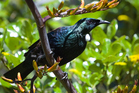 Planting the right trees can attract native birds like the Tui. Photo / Thinkstock