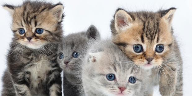 Almost half of all NZ households host at least one cat. Photo / Thinkstock