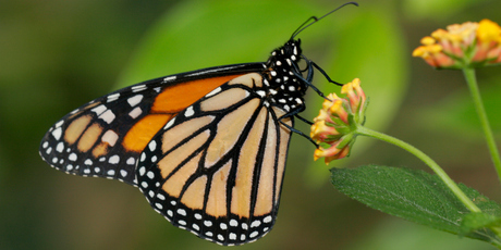 A Monarch butterfly. Photo / Thinkstock