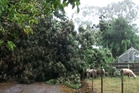High winds brought down this tree over the Morgans driveway on the Tauranga Direct Road.  PHOTO SUPPLIED BY SHAUN MORGAN