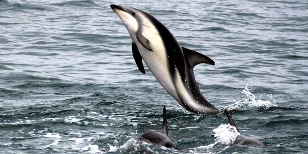 The measures would benefit Kaikoura's whales, dolphins, seals, albatross, rock lobster, shellfish and finfish. Photo / Derek Chen