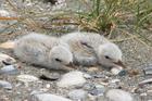 Fairy tern chicks. Photo / Rex Williams