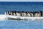 Adelie penguins use pack ice for safety. Photo / Phil Lyver