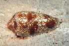 A drug made from cone snail venom is judged to be about 100 times more potent than morphine or gabapentin. Photo / Creative Commons