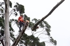 A Northpower linesman cuts a limb from a tree to enable downed lines to be repaired at Puhipuhi. Photo/John Stone