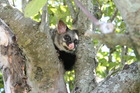 New Zealand's native flora and fauna are particularly vulnerable to predation by mammal pests like possums.