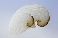 Paper Nautilus. Photo / Davide Fraser.