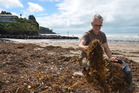 Richard Dale takes advantage of seaweed thrown up on Milford Beach after a storm. Photo / Meg Liptrot
