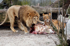 A giraffe put down by Copenhagen Zoo was dissected and fed to lions in front of a group of children. Photo / AP