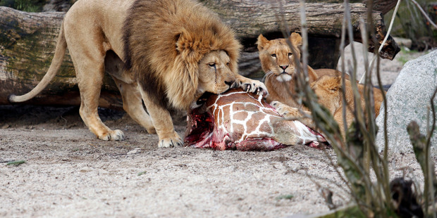 The carcass of Marius, a male giraffe, is eaten by lions after he was put down in Copenhagen Zoo on Feb. 9, 2014. Photo / AP