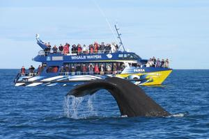 A sperm whale dives in front of the Kaikoura Whale watch vessel. Photo / supplied