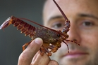 PhD student Jan Hesse with a juvenile crayfish or spiny rock lobster. Photo / Brett Phibbs