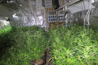 Police have seized 46,000 cannabis plants in an annual operation in Northland. Photo / NZ Police