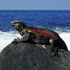 A marine iguana basks on Galapagos Islands rocks. Photo / Thinkstock