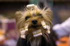 A Yorkshire terrier is groomed ahead of being shown at the Crufts dog show. Photo / Getty Images