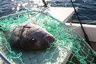 Good-sized snapper are being taken in the shallows and they're all along the eastern coast. Photo / File