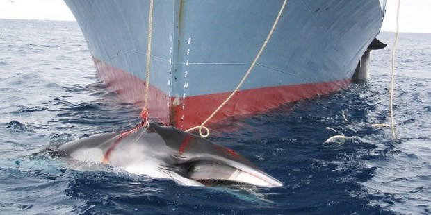 A whale being dragged on board a Japanese ship after being harpooned in Antarctic waters. Photo / AFP
