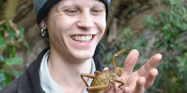 Auckland Zoo keeper Ben Goodwin with female wetapunga. Photo / Auckland Zoo