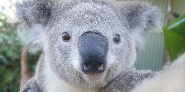 Bruce the Koala at Wild Life Sydney Zoo takes a selfie with a new Sony QX camera armed with special sensors. Photo / Instagram