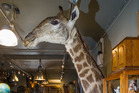 The stuffed giraffe head in The Antique Shop in Howick cause an eruption of protests. Photo / Jason Dorday
