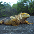 Land iguanas don't move for anybody. Photo / Supplied