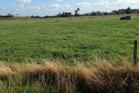 Waikato pasture showing one of tall fescue's main advantages - its ability to stay green and productive during droughts.