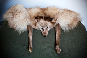Silver fox. Photo / Babiche Martens