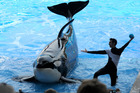SeaWorld's orca shows are on the way out. Photo / AP