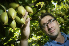 CEO Michael Franks of Seeka inspects kiwifruit on the vine. Seeka is looking for growth after reporting a 55 percent decline in net profit in 2013. Photo / Bay of Plenty Times