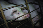 A piggery where animals are kept in sow crates.  Photo / NZ Open Rescue
