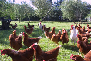 Free range chickens are the best way to go. Photo / Sarah Bicknell