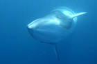 Scientists don't know why the minke whales produce the sound, but it is believed to be a form of communication between the mammals. Photo / Thinkstock