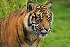 There are fewer than 400 Sumatran tigers left on their namesake island. Photo / Thinkstock