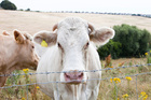 Cow manure used to fertilise crops may contribute to antibiotic resistance, scientists say. Photo / Thinkstock