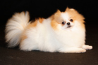 A man has been charged with a brutal attack on a pomeranian dog. Photo / Thinkstock
