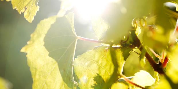 The sun shines on a vineyard on Waiheke Island. Picture / Supplied