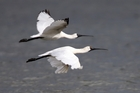 Spoonbills on the wing. Photo / Michael Cunningham