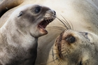 Sea lion pups at their main breeding ground are down 18 per cent on last year.